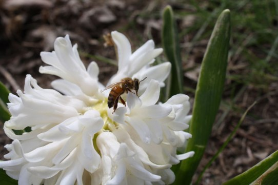 bee-on-hyacinth
