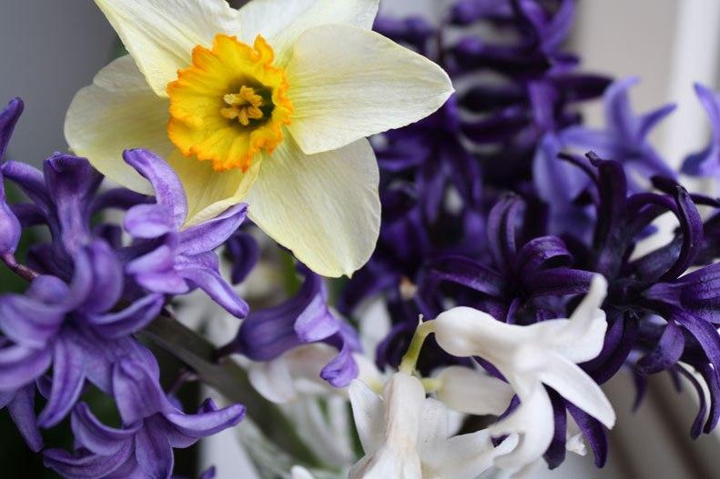 daffodil-and-hyacinth