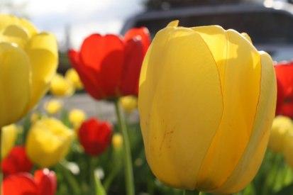 evening-tulips
