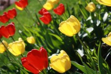 more-tulips