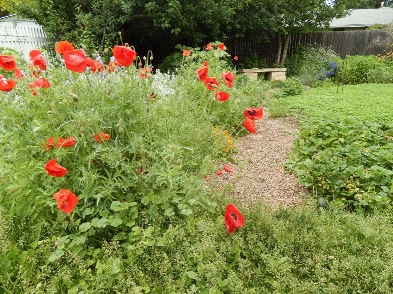 poppies4small