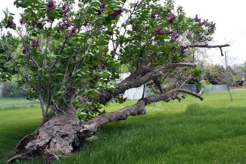 Lilac3